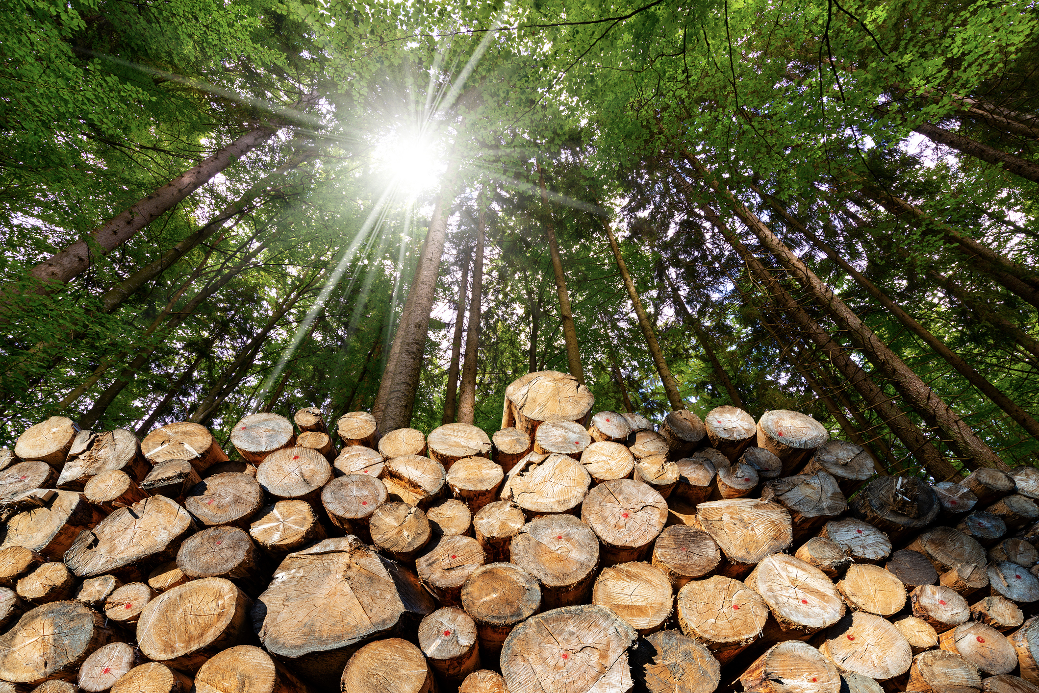 Wooden Logs with pine woodland and sunbeams